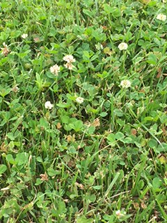 IMG_0775 dandelions