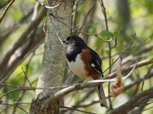 towhee photo from sue schmoyer
